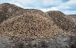 Hög av överflödiga potatisar på en fältkant Arkivbilder