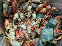 H?g av den kokta rimmade krabban, f?r thail?ndsk mat f?r SomTum fotografering för bildbyråer