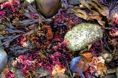 Hög av färgrik havsväxt längs kusten av Maine royaltyfri fotografi