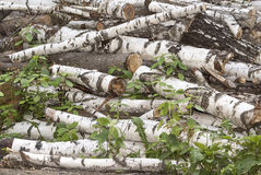 Hög av gamla journaler för snittbjörkträd royaltyfri foto
