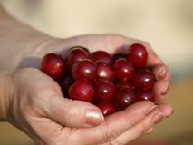 Hög av nya Cherry Fruits Arkivbilder