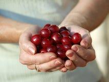 Hög av nya Cherry Fruits Fotografering för Bildbyråer