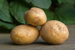 Hög av nya nya potatisar utomhus i sommar Fotografering för Bildbyråer