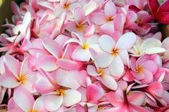 Hög av rosa plumeriablomningar, Hawaii Arkivbilder