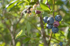 hög blåbärbuske Royaltyfri Fotografi