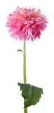 Hög blomma Arkivbild
