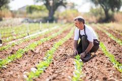 Hög bonde som kontrollerar status av unga växter i växthuset Jordbruk royaltyfria bilder