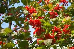 hög cranberry arkivbilder