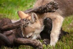 Hög för Grey Wolf Canis lupusvalp Royaltyfri Foto