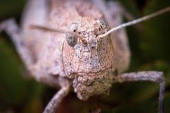 Hög förstoringsmakro av huvudet för grashopper` s Arkivbilder