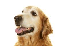 Hög golden retrieverhund på vit bakgrund Arkivfoton