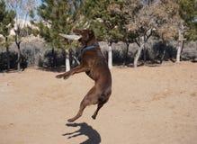 Hög hoppafrisbeehund Arkivbilder
