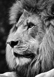 Hög kontrast som är svartvit av en kraftig manlig lejonframsida arkivfoto