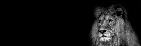 Hög kontrast som är svartvit av en manlig afrikansk lejonframsida royaltyfri foto