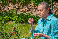 Hög kvinna i hennes trädgård och självodlade redcurrants Royaltyfri Bild