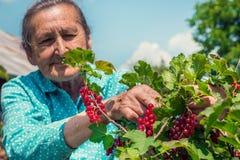 Hög kvinna i hennes trädgård och självodlade redcurrants Arkivfoto
