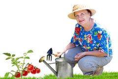 Hög kvinna som arbeta i trädgården den nya tomaten Fotografering för Bildbyråer