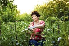 Hög kvinna som arbetar i en grönsakträdgård som binder upp tomater Arkivbilder