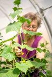 Hög kvinna som kontrollerar gurkaväxter på växthuset royaltyfri bild