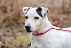 Hög kvinnligJack Russell Terrier hund Arkivbild