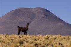hög llama för höjdcamelid Arkivbilder