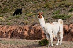 hög llama för höjdcamelid Arkivfoton