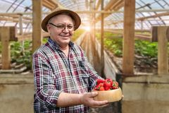 Hög lycklig bonde som ler och rymmer mogna organiska smakliga jordgubbar i träbunke på växthusgrönskalantgården År-runda royaltyfri fotografi