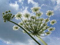 hög mäktig sky för blomma Royaltyfri Fotografi