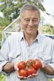 Hög man i växthus med hemmet - fullvuxna tomater Royaltyfri Fotografi