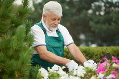 Hög man som tar omsorg av blommor i trädgård arkivfoton