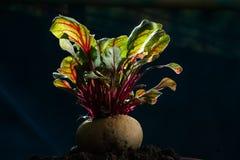 Hög näring för ny grönsak för rödbeta sund Fotografering för Bildbyråer