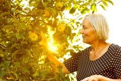 Hög sol för kvinnaplockningäpplen royaltyfri fotografi
