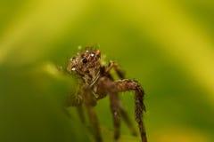 hög spindel för foto för banhoppningmakroförstoring Fotografering för Bildbyråer