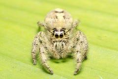 hög spindel för foto för banhoppningmakroförstoring Royaltyfri Bild