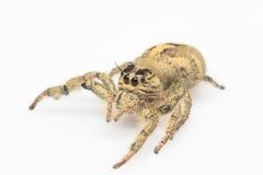 hög spindel för foto för banhoppningmakroförstoring Royaltyfria Bilder