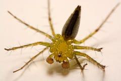 hög spindel för foto för banhoppningmakroförstoring tät banhoppningspindel upp Arkivfoto