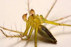 hög spindel för foto för banhoppningmakroförstoring tät banhoppningspindel upp Arkivbild