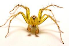 hög spindel för foto för banhoppningmakroförstoring tät banhoppningspindel upp Royaltyfria Foton