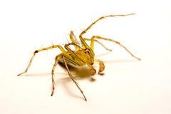 hög spindel för foto för banhoppningmakroförstoring tät banhoppningspindel upp Arkivfoton