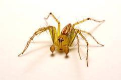 hög spindel för foto för banhoppningmakroförstoring tät banhoppningspindel upp Fotografering för Bildbyråer