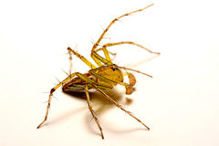 hög spindel för foto för banhoppningmakroförstoring tät banhoppningspindel upp Royaltyfria Bilder