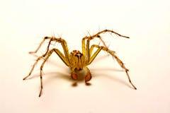 hög spindel för foto för banhoppningmakroförstoring tät banhoppningspindel upp Arkivbilder