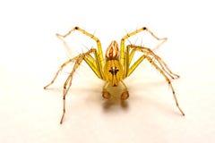 hög spindel för foto för banhoppningmakroförstoring tät banhoppningspindel upp Royaltyfri Bild