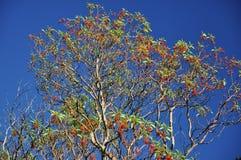 Hög trädArbutusandrachne med gröna sidor och röd frukt på en blå himmel arkivfoto