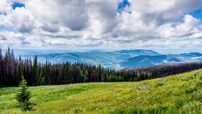 Höga alpina ängar med sörjer skalbaggen påverkade träd Arkivbilder