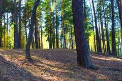 Höga gamla sörjer träd i pinjeskog i höst Arkivbilder