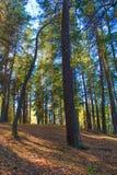 Höga gamla sörjer träd i pinjeskog i höst Arkivbild