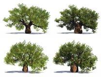 höga gammala upplösningstrees för baobab Arkivbilder
