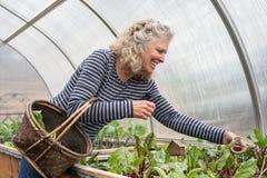 Höga gräsplaner för kvinnaplockningsallad i hennes växthus Arkivbild