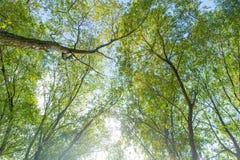Höga gröna träd i skogmorgonen i skogen royaltyfria bilder